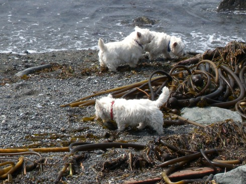 Westies out harvesting some seaweed on Vancouver Island.